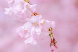 japanese-cherry-trees-4050978_640